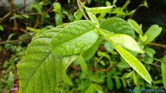 Guava leaf tea – the unknown recipe of a natural gift 2019 Guava Benefits, Apple Benefits, Garlic Benefits, Cinnamon Benefits, Vegetable Benefits, Fruit Benefits, Tea Benefits, Health Benefits, Guava Leaf Tea
