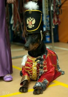 majestic #Doberman #dog