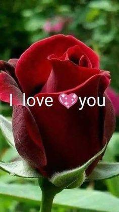 when do hybrid tea roses bloom Beautiful Rose Flowers, Exotic Flowers, Amazing Flowers, Red Flowers, Pink Roses, Beautiful Flowers, Purple Rose, Rosa Rose, Hybrid Tea Roses