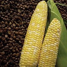 Cuppa Joe Bicolor Hybrid Sweet Corn - Get a boost in early sweet corn harvest from 'Cuppa Joe'! The 8 to 8 1/2 inch ears are filled with 16 rows of sweet, tender kernels with excellent eating quality for an early maturing variety. Tolerant to Common Rust and Stewart's Wilt. Perfect for both home gardeners and fresh market growers.