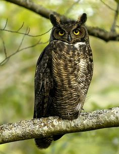 Great Horned Owl - (Bubo virginianus)* North America