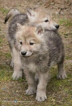 *wolf pups* Howl and Fluff- one month each- lives together in a tiny pack- lives on whatever they can find- they never want to leave each other's side. Wolf Photos, Wolf Pictures, Animal Pictures, Beautiful Wolves, Animals Beautiful, Wolves In Love, Cute Baby Animals, Animals And Pets, Strange Animals