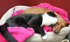 Paralyzed cat has her very own guard dog thanks to loyal dachshund who refuses to leave her side after pair were dumped in road