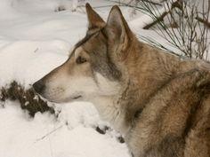 Saarloos wolfhound dog Pet Dogs, Dog Cat, Pets, Doggies, Wolf Dog Breeds, Wolfhound Dog, Saarloos, Critters 3, Husky