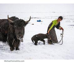 Did you know that yaks have grey tongues? Neither did I till I took this photograph in a Tibetan nomad camp. #Tibet #Tibetanplateau #yak Photograph by Michael Yamashita @yamashitaphoto @thephotosociety @natgeocreative