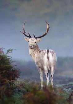 A fallow deer seen through the mist in Surrey, England.