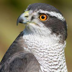 With orange eyes this either an Asian Northern Goshawk or a maturing bird from the west. Northern Goshawk, Sparrowhawk, Hawk Bird, Birds Of Prey, Raptors, Bird Art, Bird Feathers, Predator, Beautiful Birds