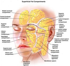 Anatomy Of The Face Skin 1000 Images About Facial Anatomy On Pinterest Facials Muscle