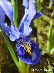 Iris nani #iris www.dreamerflower.com