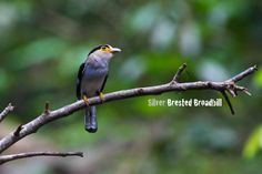 Silver breasted broadbill