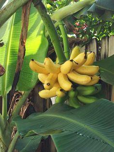 Mini Bananas de mi patio