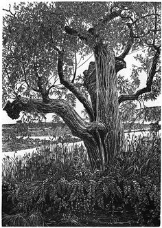 Olivträd, Fiesole, 170 x 240 from Eva Stockhaus by Kim Nicklasson, published by Samlargrafik, Sweden. Picture Engraving, Wood Engraving, Landscape Drawings, Abstract Landscape, Graphic Illustration, Graphic Art, Illustrations, Old Trees, Scratchboard