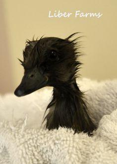 Liber Farms - Stella - runner duck 2 days