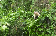 Panama.  Visit these monkeys on one of our day trips!  Panama Roadrunner  www.panamaroadrunner.com