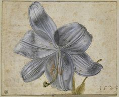 Albrecht Dürer (1471 – 1528) 'Study of Lilies,' 1526 watercolor on paper