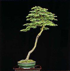 Image from http://bonsaibark.com/wp-content/uploads/fir.jpg.