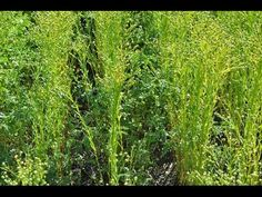 Intercropping is a sustainable practice for organic farmers that not only benefits weed management but also has financial benefits. Organic Weed Control, Sustainable Practices, Small Farm, Agriculture, Acre, Sustainability, Youtube, Plants, Plant