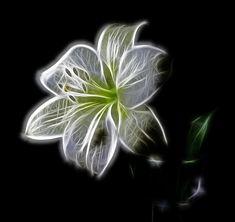 Weiß, Lilie, Blume, Natur, Schönheit, Digitale Kunst
