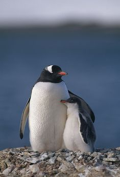 And you thought cute animals couldn't get any cuter. Some creatures are just born to take care of others. Find out if you're a Caregiver, too, by taking the quiz at ArchetypeMe. Penguin Art, Penguin Love, Cute Penguins, Cut Animals, Animals And Pets, Baby Animals, Beautiful Birds, Animals Beautiful, Gentoo Penguin