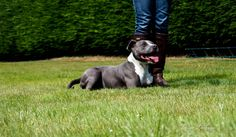 Photo of Blue Staffordshire Bull Terrier Dog during the Andy Biggar Training Day .. photo by Louise Kathryn