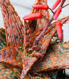 RARE Succulent Aloe Sunrise Agave Echeveria