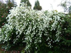 Exochorda macrantha.'The Bride'