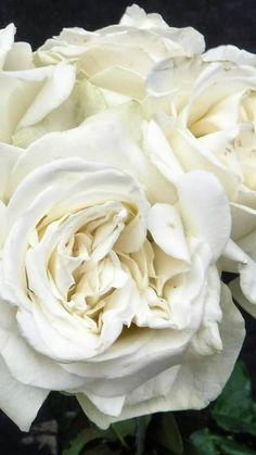 Flowers Online   Wholesale Flowers