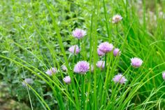 Chives are a type of nutrient-dense vegetable. They may have anticancer effects, among other health benefits. In this article, learn about the nutrition, benefits, and uses of chives. Kidney Recipes, Garlic Chives, Cancer Fighting Foods, Dealing With Stress, Types Of Cancers, Landscaping Tips, Health Benefits, Nutrition, Wellness