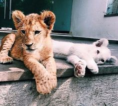 Lion And White Lion Cubs animals lion animal cute animals animal pictures animal photos Cute Creatures, Beautiful Creatures, Animals Beautiful, Animals And Pets, Funny Animals, Photocollage, Cute Little Animals, Adorable Animals, Tier Fotos
