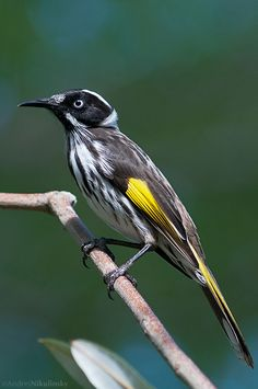 clusterpod: New Holland Honeyeater (Phylidonyris novaehollandiae) One of the first birds to be described in Australia, the New Holland Honeyeater is common and widespread throughout Southern Australia.