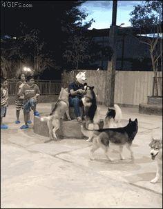 dogs-mask-husky - via GIPHY