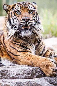 Tiger by DGPhotographyjax on deviantART