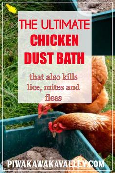 Keep your Chickens Healthy and Happy with the ultimate chicken dust bath recipe. DIY instructions th Backyard Chicken Coops, Diy Chicken Coop, Chickens Backyard, Chicken Feeders, Chicken Run Ideas Diy, Backyard Farming, Meat Rabbits, Meat Chickens, Mites On Chickens