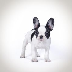 Fiona - French Bulldog Puppy Photograph - Fiona - French Bulldog Puppy Fine Art Print