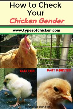 5 Tips on Checking Your Chicken's Gender - Discover how it is that a novice backyard chicken keeper can differentiate if his chick is going to become a hen or a rooster. Portable Chicken Coop, Best Chicken Coop, Backyard Chicken Coops, Building A Chicken Coop, Chickens Backyard, Backyard Farming, Backyard Poultry, Chicken Coup, Types Of Chickens