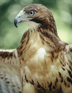 Hawk Totem - Visionary Messages/meanings:  spiritual awakening, inner purpose, intensity, charisma As a totem the hawk is representative of soaring to higher states of awareness and vision.