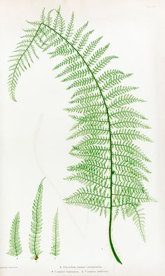 Moore, Thomas The Ferns of Great Britain and Ireland. Edited by John Lindley. Nature-printed by Henry Bradbury, 1855