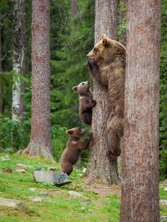 Hurry Hurry - Mother bear and cub's climbed to tree extremely fast when big male bear arrived. Wild bears.