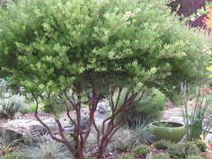 This attractive evergreen shrub native to the West requires little to no maintenance.