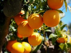 Narancs ch tartalma – nem magas, így kifejezetten ideális fogyókúrák beiktatásánál, annál is inkább, mert magas az ásványi anyag tartalma Plum, Fruit, Food, Essen, Meals, Yemek, Eten