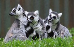 Ring tailed lemurs'lineage is thought to go back at least 65 mya (million years ago). Lemurs are in the line thought to be some of the earliest primates. See book p. 67. (Wikimedia) More at http://www.global-awareness.org/books/worldhistory.html
