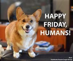 A Happy Friday Corgi Z