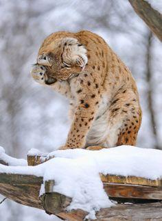 Animals Images, Animals And Pets, Ocelot, Cockatoo, Big Cats, Documentary, Polar Bear, Tigers, Cheetah