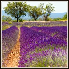 Provence, France Photograph. Trees and Lavender 2, Purple and Violet. 10x10 or 8x12