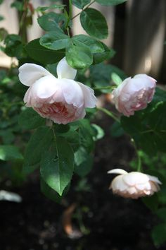 David Austin's Roses