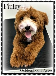Check out our list of all upcoming Goldendoodle litters and Double Doodle litters below. Please fill out the puppy application and we will contact you. Toy Goldendoodle, Goldendoodles, Double Doodle, Love Doodles, Breads, Teddy Bear, Puppies, Toys, Animals