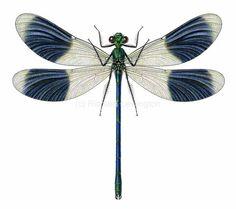 Calopteryx splendens, le Caloptéryx éclatant ou Caloptéryx splendide (anciennement Agrion éclatant)