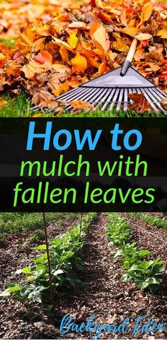 How to mulch with fallen leaves   How to mulch your garden   How to use leaves as mulch   Leaf mulch   How to use mulch   Fall leaves leaf mulch   Leaf Mulch compost   Leaf mulch tips   Leaf mulch in your gardens   Spring leaf mulch   Leaf mulch for your plants   Autumn Leaf mulch   Compost   Composting fall leaves   How to compost   Soil Health   Healthy Soil   Using leaves to feed the soil   Backyard Eden