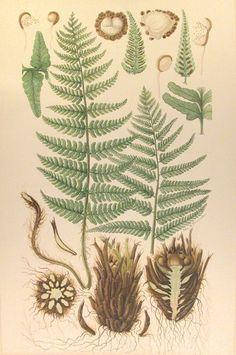 Dryopteris filis-mas, Male fern, Mannetjes varen