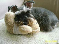 Schnauzers will use anything as a pillow, even another dog!